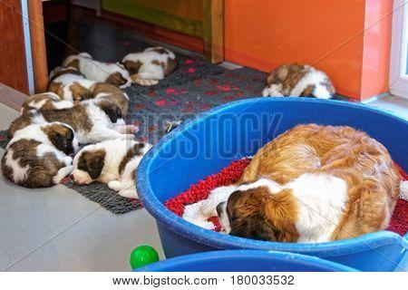Saint Bernard Adult Dog With Puppies Sleeping At Kennel Martigny