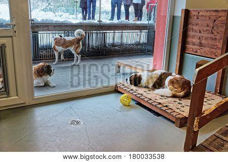 Saint Bernard Adult Dogs In Breeding Kennel Martigny