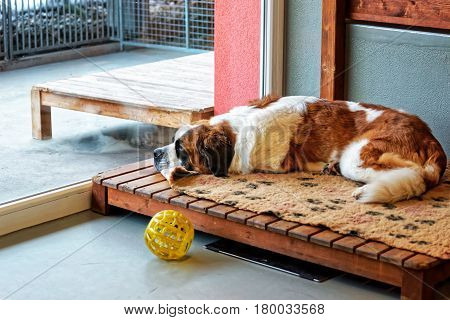 Saint Bernard Dog Lying In Breeding Kennel Martigny