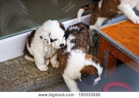 Saint Bernard Little Puppies Playing In Breeding Kennel At Martigny