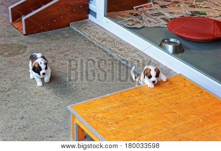 Saint Bernard Little Puppies Playing In Breeding Kennel In Martigny