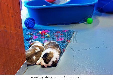 Saint Bernard Puppies Sleeping At Breeding Kennel Martigny