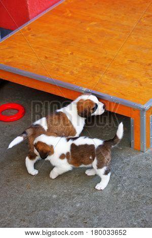 Saint Bernard Small Puppies Playing In Breeding Kennel Martigny