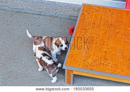Saint Bernard Small Puppies Playing In Breeding Kennel In Martigny