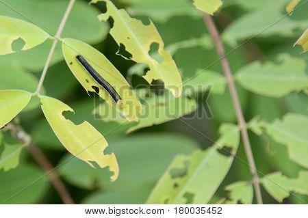 Caterpillar on a green leaf. worm eating green leaves