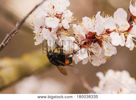 bumblebee on a flower of the white plum blossoms in spring