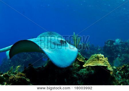 A Stingray In Honduras