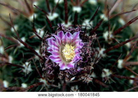 Ferocactus macrodiscus cactus flower in full bloom macro up close