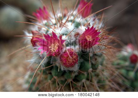 red cactus flower macro up close beautiful