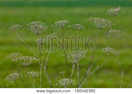 Angelica Archangelica Dry Plant