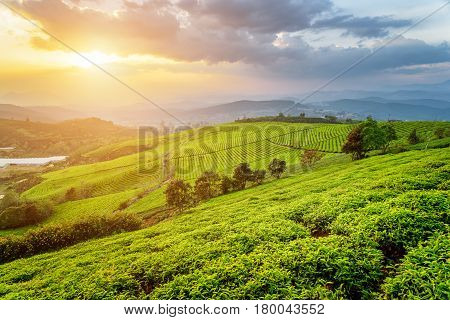 Amazing Young Bright Green Tea Bushes And Colorful Sunset Sky