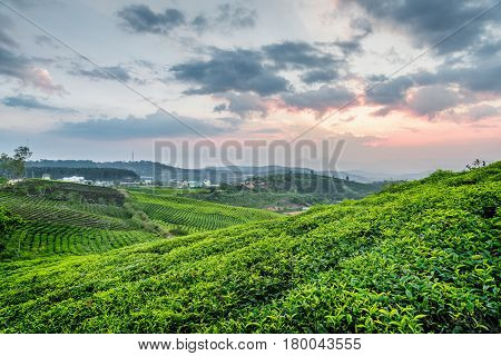 Beautiful Young Bright Green Tea Bushes And Colorful Sunset Sky