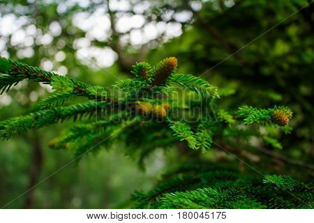 Closeup of fir needles and buds against blurred green forest and sky background in spring time sunny day, shallow depth field