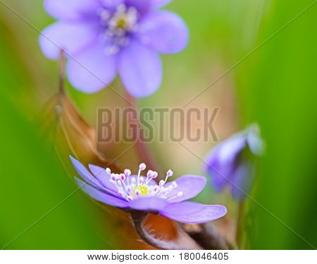 Blue spring wildflower abstract liverleaf or liverwort, Hepatica nobilis. A delicate and fragile wild forest flower. Symbol for fragility