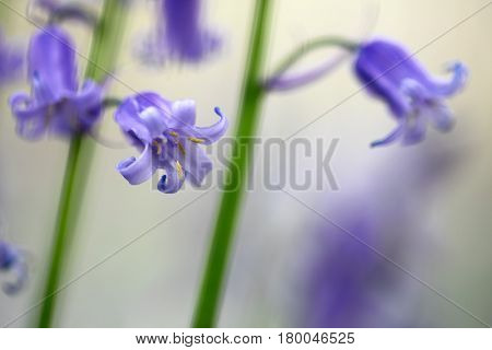 bluebells wildflower macro detail. Hyacinthoides non-scripta or bluebell is a beautiful blue violet spring flowers growing in carpet on the forest floor.