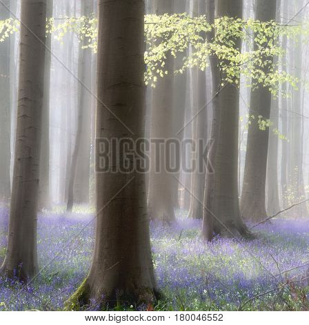 Spring forest abstract violet blue wildflowers cover floor and first green leaves bring color. Beech trees among bluebell flowers in misty  Hallerbos.