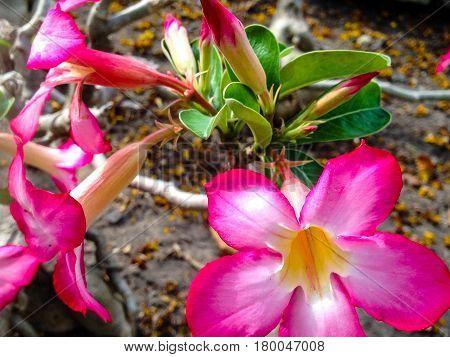 Adenium Obesum Tree