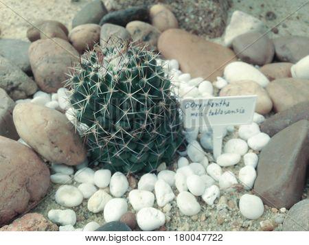 Coryphantha Maiz - Tablasensis