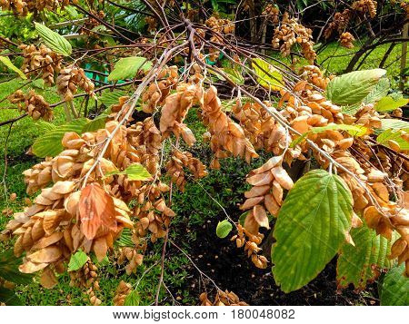 Flemingia Strobilifera Tree