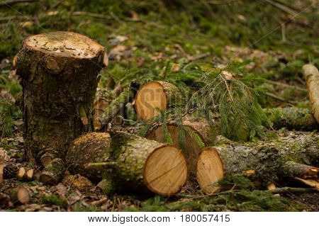Spruce logs lying in the grass as a background. Pine logs in the grass. Sawed spruce tree trunk. Closeup of cut spruce logs. Stack of freshly cut timber in forest