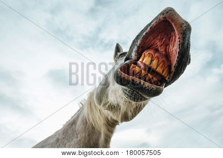 Funny low angle view of grinning white horse's mouth and teeth against the sky selective focus