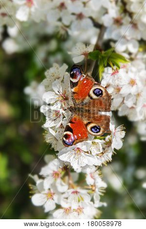 European peacock butterfly (Aglais io) on the white blossoms of a fruit tree in spring selected focus narrow depth of field