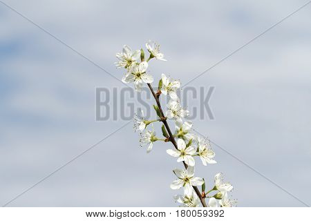 Blackthorn Branch with Opened  Blossoms ( Prunus spinosa )