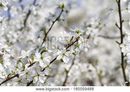 Blooming Blackthorn ( Prunus spinosa ) on Bokeh Background