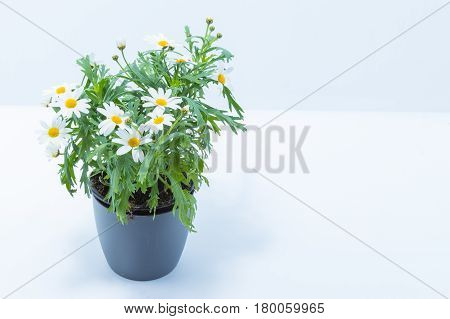 Gray Pot With Common Daisies Isolated In White Background