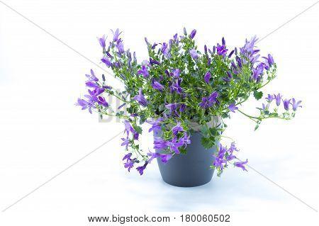 Campanula Addenda Or Bellflowers Isolated On White Background