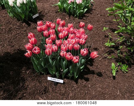 The versatile use of tulips in landscaping or home gardening seen at the Chicago Home and Garden Show.