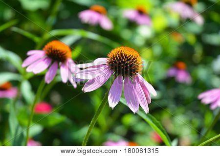 Echinacea: Health Benefits. Echinacea Purpurea Flowers for Herbal Tea.