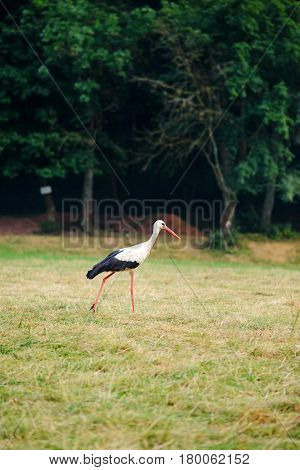 White Stork Walking On A Green Meadow, Hunting For Food