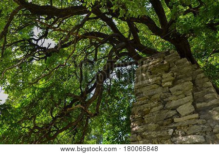 Forest tree with branches and green leaves growing against an old rustic brick wall. Saturated and vivid nature background for wallpaper or web design
