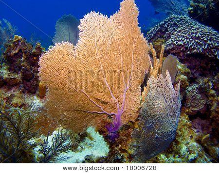 Sea Fans In Cayman Brac