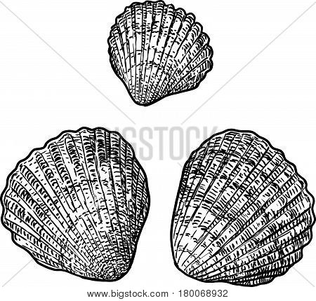 Cockle clam illustration, drawing, engraving, ink, line art