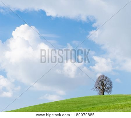 Solitary big bald tree standing alone in a field in springtime against a blue sky with cumulus clouds.