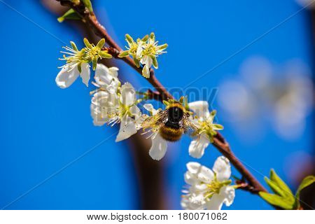 Bumblebee On A Flower Plum