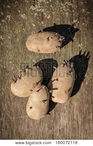 Germinated potatoes on a old wooden board