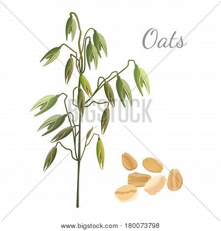 Oats green branch with unripe fruits and pile of mature cereals grain isolated on white. Vector illustration in flat design of healthy plant with vitamins