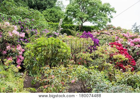 Colorful Azaleas and Rhododendrons up a Hill