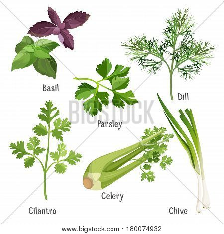 Herbs and plants colorful vector poster on white. Collection of basil bunches, green parsley and dill, fresh cilantro, stem of chive and celery stalk. Useful and healthy eco food for cooking dishes