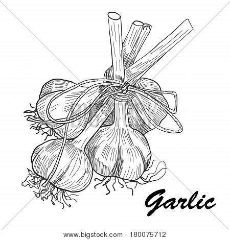 Vector hand drawn garlic. Stylized black and white sketch of a bundle of garlic groves tied with ribbon.