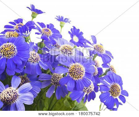 Close-up of blue flowers of a camomile - fresh spring flowers. Bouquet of blue flowers on a white background. Selective focus