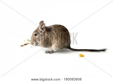 Adorable chilean degu squirrel eating some grain as a snack, isolated on white background, closeup