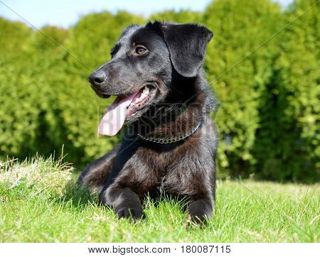 Cute black  puppy crossbreed dog in grass.
