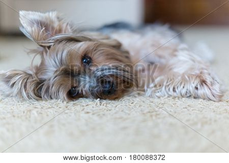A sad dog misses the owner. Dog of the breed Yorkshire Terrier.