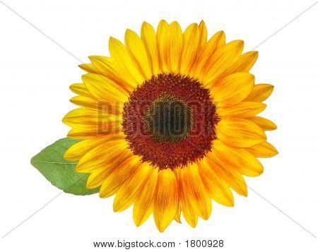 Sunflower Hdri