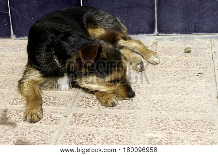 Funny dog blanck, white and brow resting on the floor