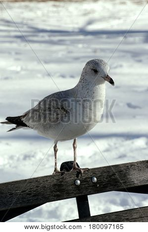 seagull snow park bench winter  ice  seabird
